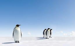 Pinguini dell'imperatore su ghiaccio Fotografia Stock