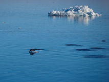 Pinguini di Adelie che nuotano e che si tuffano l'Antartide Fotografia Stock