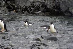 Pinguini di Adelie che nuotano fino ad una spiaggia rocciosa immagini stock
