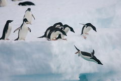 Pinguini di Adelie che saltano fuori dall'iceberg Fotografia Stock Libera da Diritti
