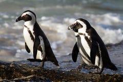 Pinguini di asino sul trotto fotografie stock