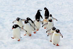 Pinguini di camminata di Gentoo Fotografie Stock