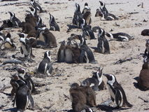 Pinguini di Cape Town Immagine Stock