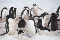 Pinguini di Chinstrap Immagine Stock Libera da Diritti
