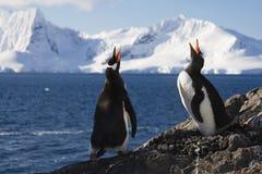 Pinguini di Genntoo che fanno una chiamata accoppiamento Immagini Stock