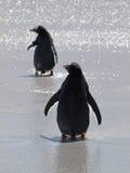 Pinguini di Gentoo Immagine Stock Libera da Diritti