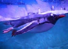 Pinguini di Gentoo immagini stock libere da diritti