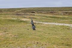 Pinguini di Gentoo Fotografia Stock