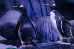 Pinguini di Gentoo Fotografie Stock