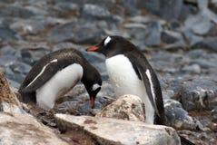 Pinguini di Gentoo in Antartide fotografia stock