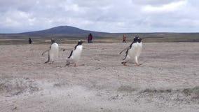 Pinguini di Gentoo che corrono sulla spiaggia a Falkland Islands stock footage