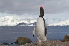 Pinguini di Gentoo che grida stando sopra Immagini Stock