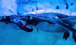 Pinguini di Gentoo che nuotano fotografia stock libera da diritti