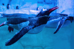 Pinguini di Gentoo che nuotano immagine stock