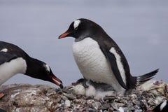 Pinguini di Gentoo con il pulcino Fotografie Stock
