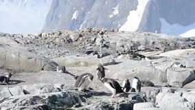Pinguini di Gentoo sul bech stock footage