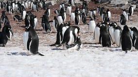Pinguini di Gentoo sul nido archivi video