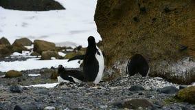 Pinguini di Gentoo sul nido video d archivio