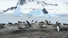 Pinguini di Gentoo sul nido stock footage