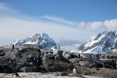 Pinguini di Gentoo sull'isola di Petermann, Antartide Fotografie Stock