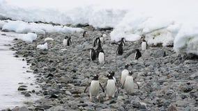 Pinguini di Gentoo sulla spiaggia stock footage