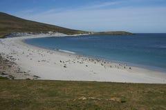 Pinguini di Gentoo sulla spiaggia del leopardo sull'isola della carcassa Fotografia Stock