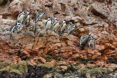 Pinguini di Humboldt nel Perù Fotografia Stock Libera da Diritti