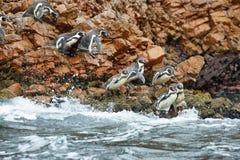 Pinguini di Humboldt nel Perù Fotografie Stock Libere da Diritti