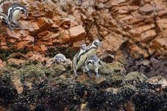 Pinguini di Humboldt nel Perù Immagini Stock Libere da Diritti