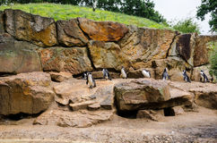 Pinguini di imperatore allo zoo Fotografia Stock