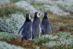 Pinguini di Magellan Fotografia Stock