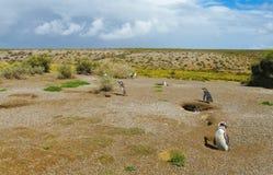Pinguini di Magellan Fotografia Stock Libera da Diritti