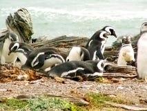 Pinguini di Magellan fotografie stock