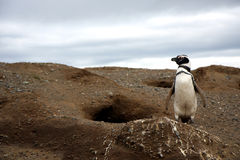 Pinguini di Magellan su un'isola Fotografie Stock Libere da Diritti