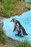 Pinguini di Magellanic Fotografie Stock Libere da Diritti