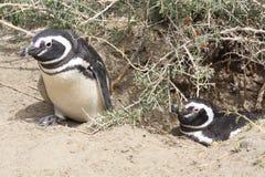 Pinguini di Magellanic Fotografia Stock Libera da Diritti