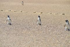Pinguini di Magellanic Immagine Stock