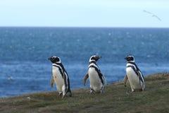 Pinguini di Magellanic al santuario del pinguino su Magdalena Island nello stretto di Magellan vicino a Punta AR Immagine Stock