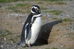 Pinguini di Magellanic al santuario del pinguino su Magdalena Island nello stretto di Magellan vicino a Punta AR Immagini Stock