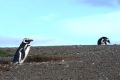 Pinguini di Magellanic al santuario del pinguino su Magdalena Island nello stretto di Magellan vicino a Punta AR Fotografie Stock Libere da Diritti