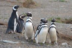Pinguini di Magellanic al santuario del pinguino su Magdalena Island nello stretto di Magellan vicino a Punta AR Fotografia Stock