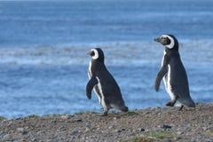Pinguini di Magellanic al santuario del pinguino su Magdalena Island nello stretto di Magellan vicino a Punta AR Fotografia Stock Libera da Diritti