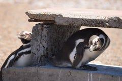 Pinguini di Magellic Immagine Stock Libera da Diritti