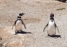 Pinguini di Magellic Fotografie Stock