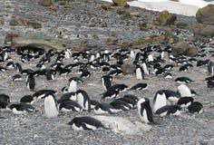 Pinguini di nidiata Adelie della colonia Fotografie Stock Libere da Diritti