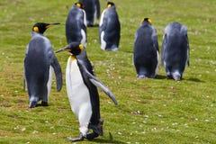 Pinguini di re Fotografia Stock Libera da Diritti