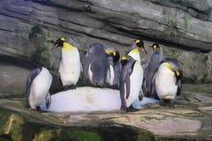 Pinguini di re Immagine Stock Libera da Diritti