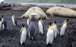 Pinguini di re Immagini Stock Libere da Diritti