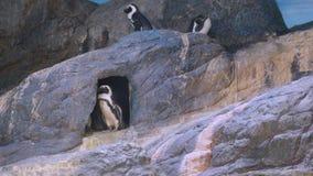 Pinguini di re in acquario della Tailandia Fotografie Stock