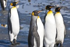 Pinguini di re, Antartide Fotografie Stock Libere da Diritti